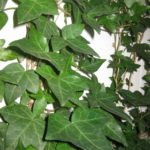 アイビーの挿し木と水挿しのやり方と適切な時期について