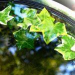 アイビーのハイドロカルチャーでの育て方や水やり方法