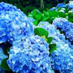 紫陽花のライムライトの育て方と剪定方について