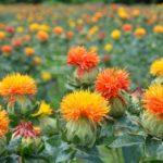 紅花のたねの採集の時期や採集方法について