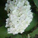 紫陽花「アナベル」ってどんな種類なの!?学名や色は!?