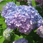 紫陽花の苗の値段や選び方は!?