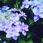 紫陽花の大きくなりにくい品種は何!?