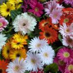 ガーベラの切り花の育て方や長持ちさせるコツについて