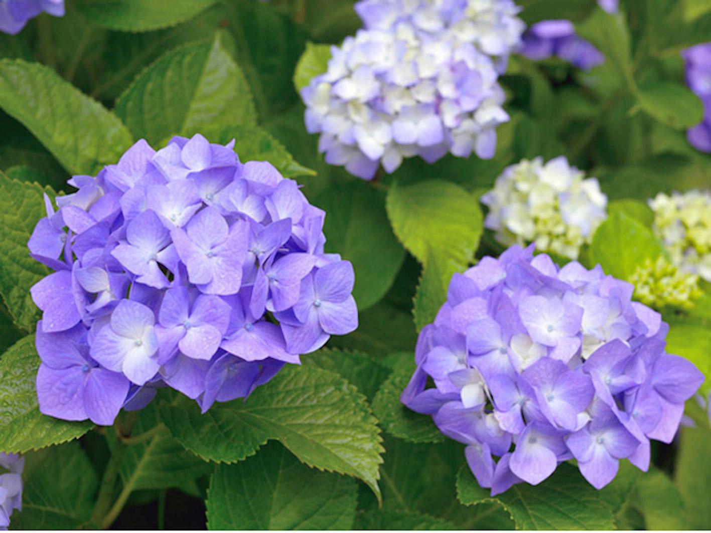 紫陽花 茎 木質化