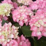 日本固有種の紫陽花の種類をご紹介!