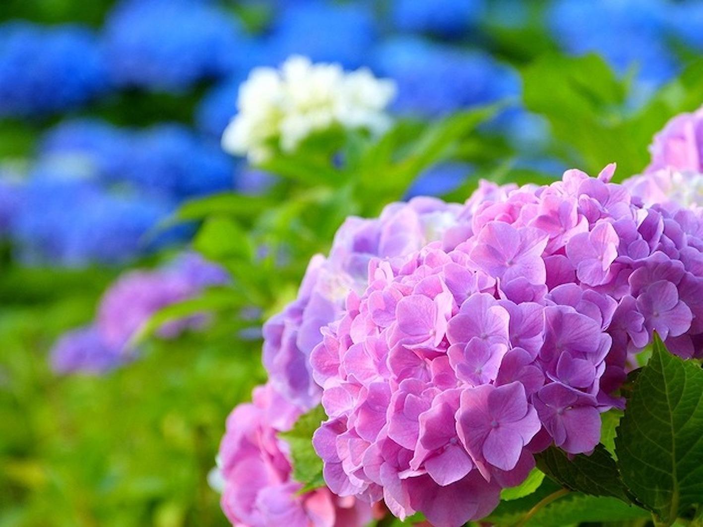 紫陽花 花びら どこ