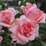 一重咲きのバラの種類一覧について