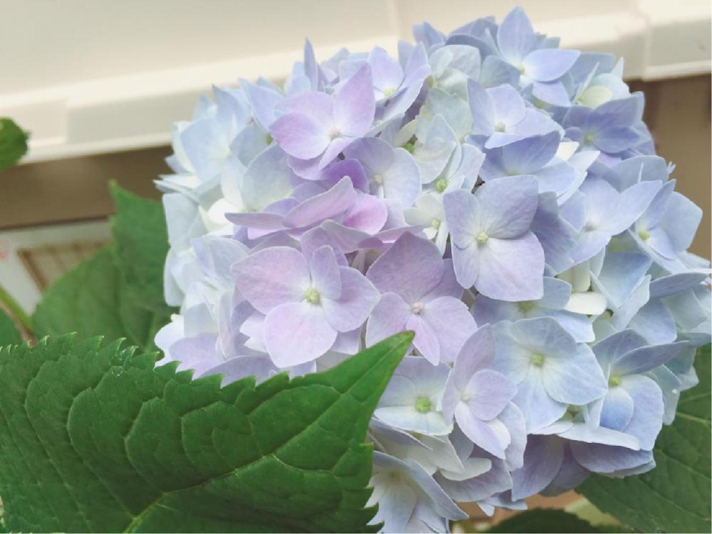 四季咲き アジサイ 挿し木 剪定