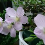 原種ハイビスカス「ロバツス」の育て方について