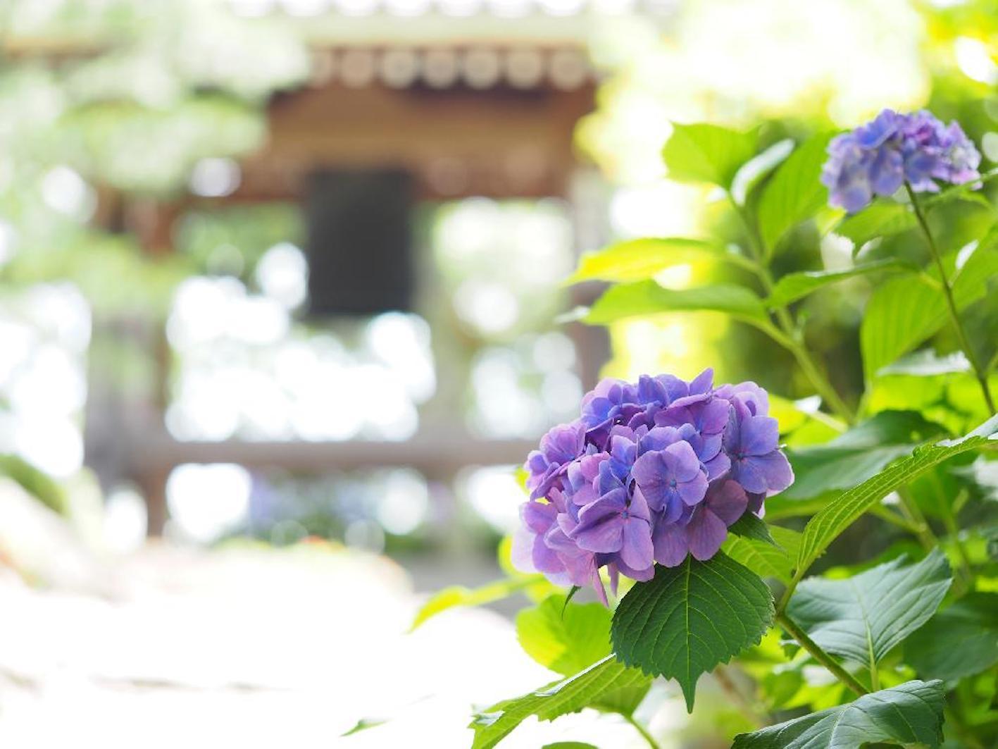 紫陽花 挿し木 時期 紫陽花を挿し木にする時期はいつ?簡単な増やし方と鉢上げの方法
