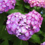 ピンクでかわいい!紫陽花の品種いちごみるくについて