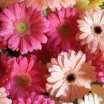 母の日にガーベラの花を贈ろう!何色がいい!?