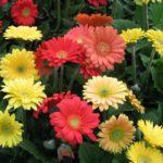 ガーベラの花が咲かない時の原因や対策方法は!?