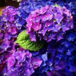 紫陽花の花には毒がある!?毒の成分の名前は!?