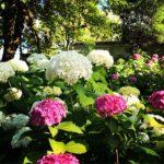 太平山の紫陽花の開花状況や見頃の時期をご紹介!