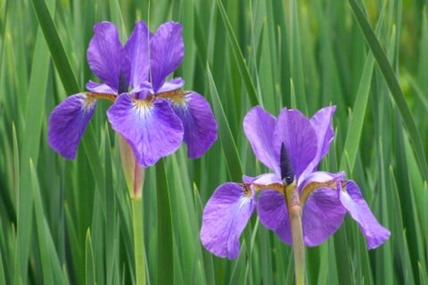 アヤメ 花 種類