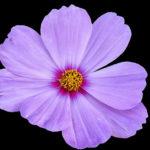 コスモスの発芽の日数はどれくらい?発芽適温は?