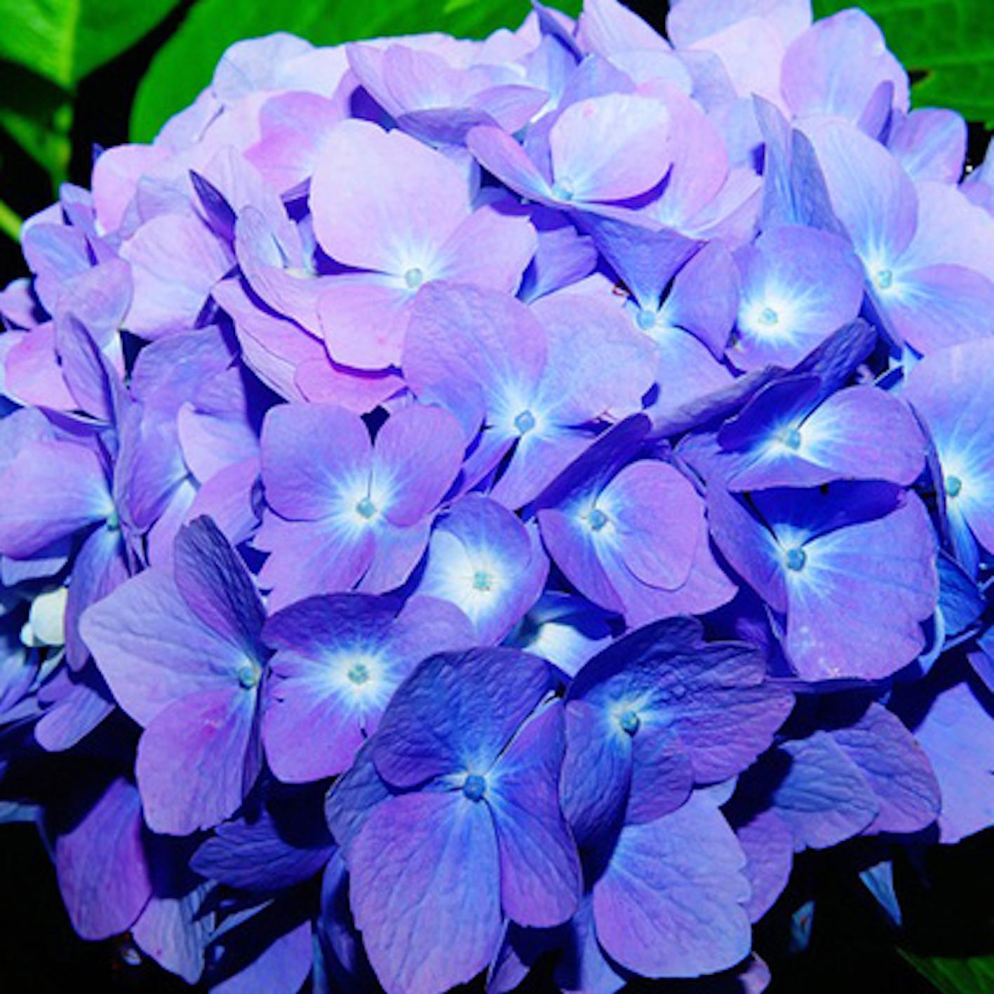 紫陽花 花 時期
