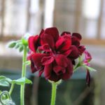 ゼラニウムの花が咲かない原因は一体何!?