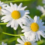 カモミールの花が咲かない原因や対策方法について