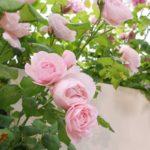 バラの鉢の土にカビが生える原因と対策とは!?