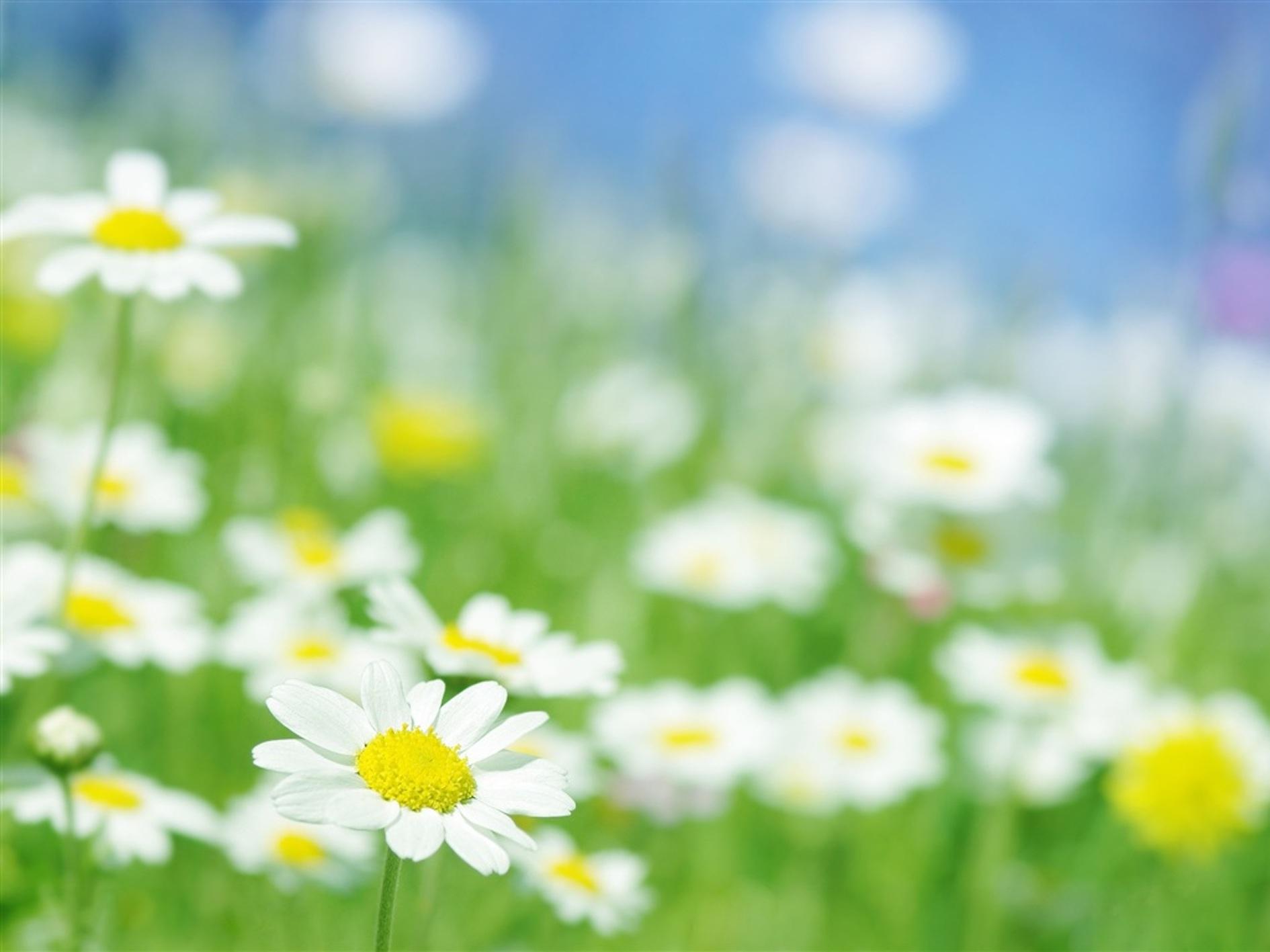 カモミール 花 保存 冷凍