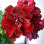 ゼラニウムの色別の花言葉や意味について。怖い意味もある!?