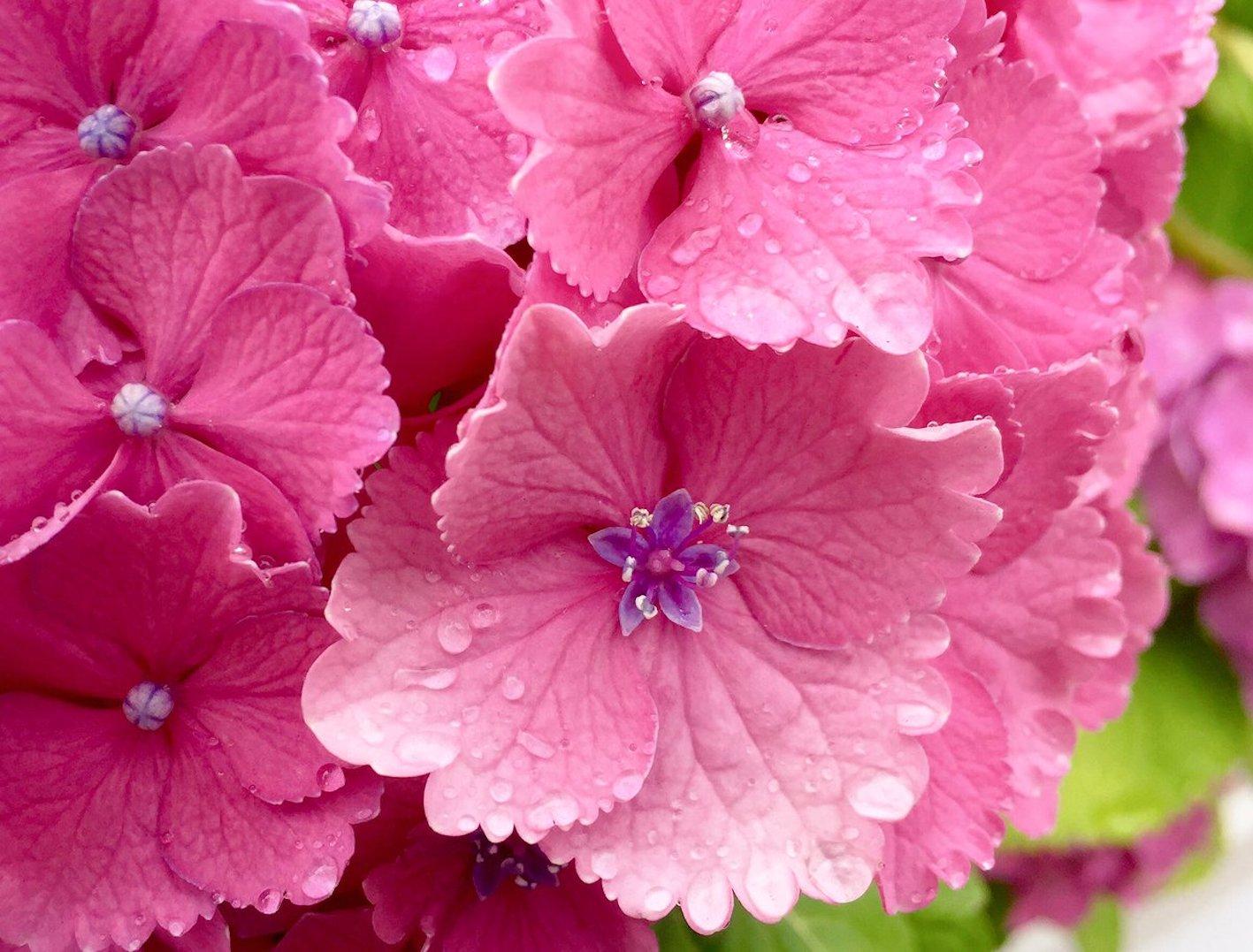 紫陽花 種類 ピンク 名前