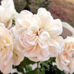 バラの品種アンナプルナの育て方について
