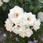 バラの花色が薄い原因や対策方法について
