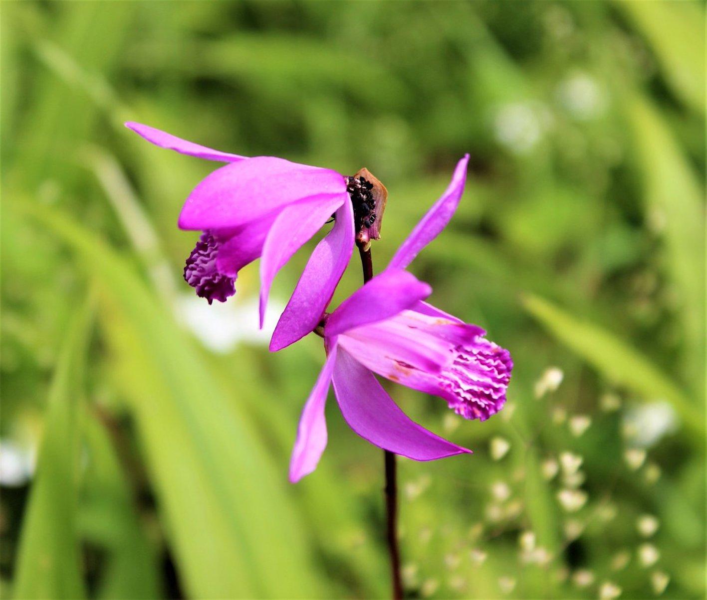 植物 花 シラン