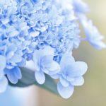 紫陽花の色を青色にするには土の酸性度はどうする!?