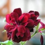 ゼラニウムの花が咲く時期はいつ!?咲き終わったらどうするの!?