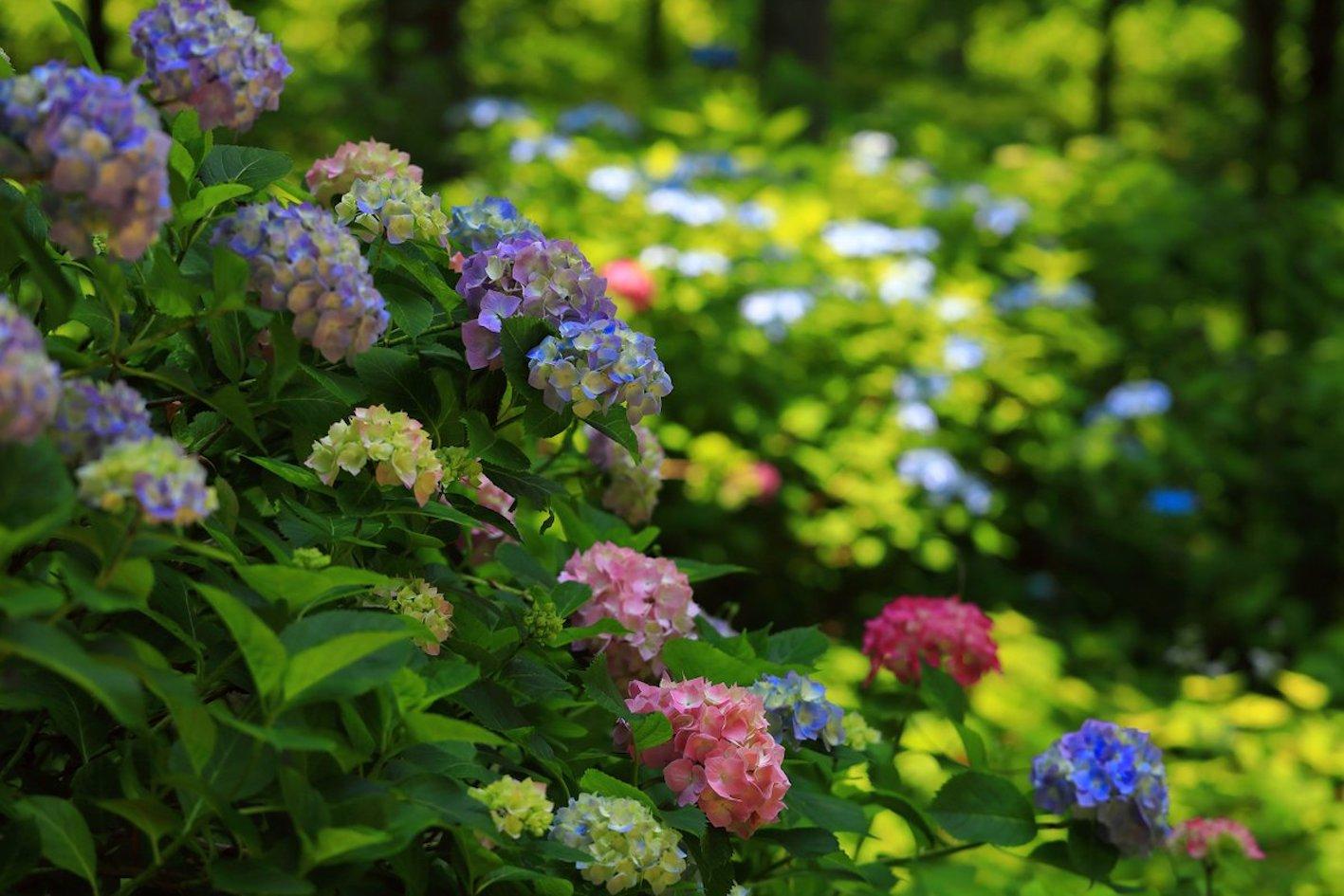 紫陽花 赤 種類