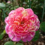 バラの強健で四季咲きの種類は何!?