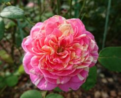 バラ 強健 四季咲き