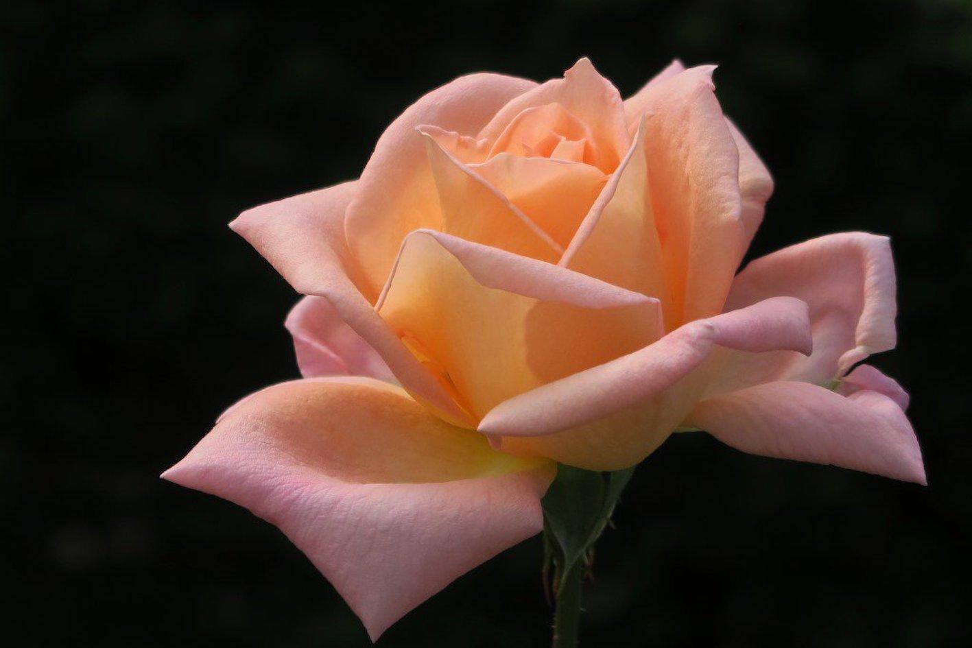 バラ オレンジ 品種
