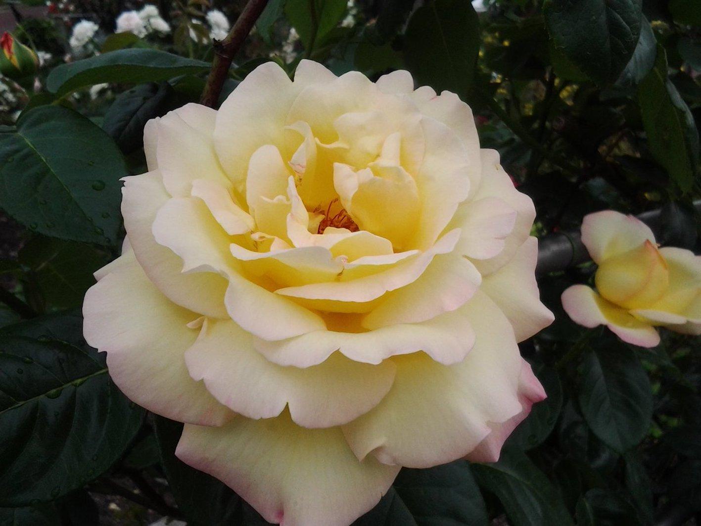 バラ ピース 特徴 香り