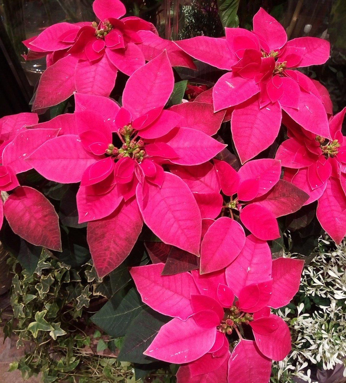 ポインセチア ピンク 種類