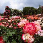 バラの冬剪定の時期とやり方について