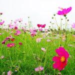 切り花として楽しめるコスモスの品種は?人気ランキング!