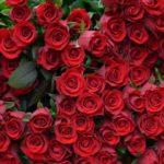 バラの葉っぱが赤い原因は何!?新しい葉っぱ!?
