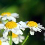 カモミールの花の収穫時期や収穫の方法について