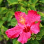 ハイビスカスを観葉植物として飾る時の風水のパワーは!?