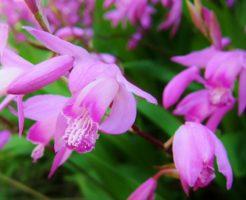 紫蘭 花言葉 由来 白