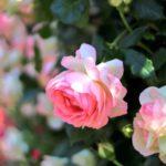 バラの芽かきの方法は!?必要な品種は何?