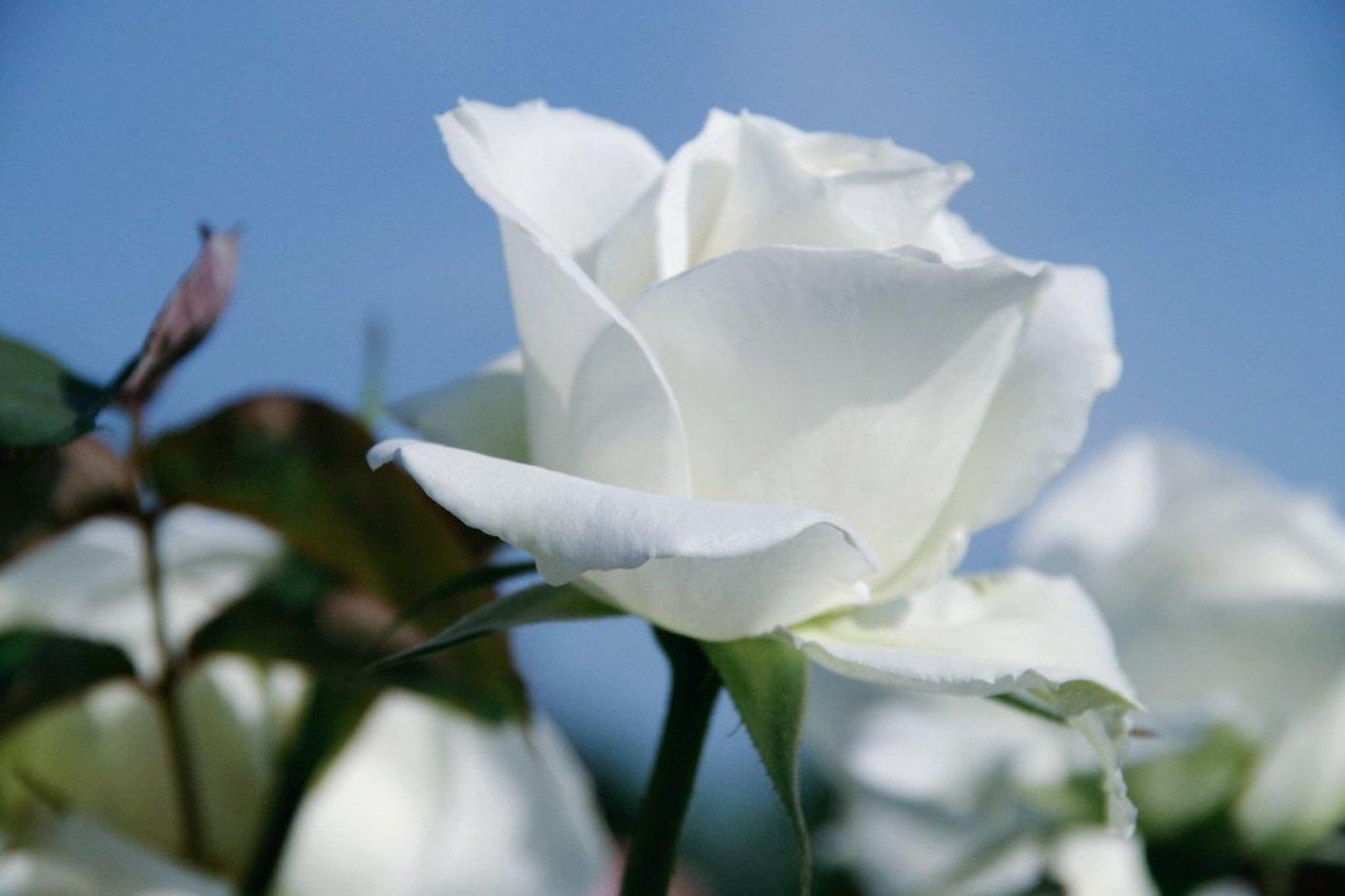 バラ 葉っぱ 白い