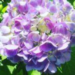 紫陽花はなぜ梅雨の時期に咲くの!?