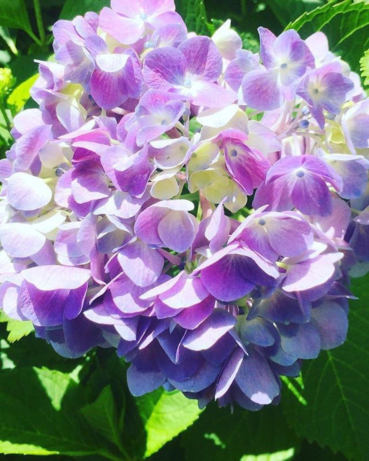 紫陽花 なぜ 梅雨
